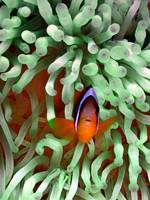 Clownfish in Pale Green Anemone