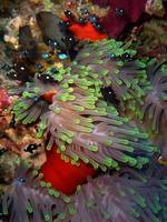 Domino Damselfish in Anemone