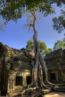 Famous Tree at Ta Prohm