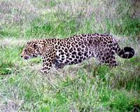 Live Leopard Walking