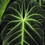 Dark Green Anthurium Leaf Prints & Posters