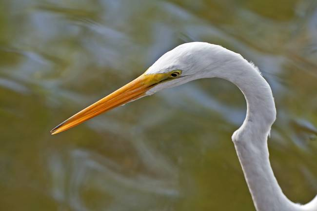 Great Egret bird.