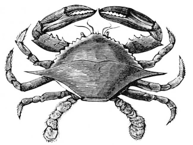 Vintage Crab Drawing