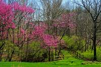 Redbud Trees Blooming