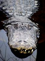 Smiling Alligator