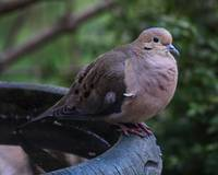 Mr. Mourning Dove at the bird bath.