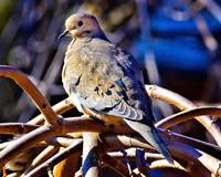 Mr. Mourning Dove.
