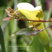 Calla Lily and Oak  by Richard Thomas
