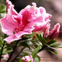 Azalea of Spring by Richard Thomas