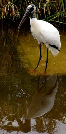 Wood stork Reflections