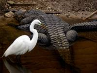 HERON & Alligator's Tail