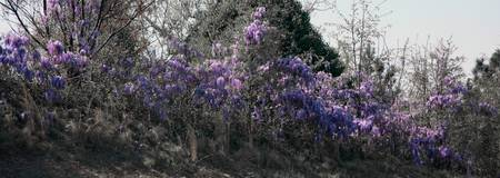 Wysteria Panoramic