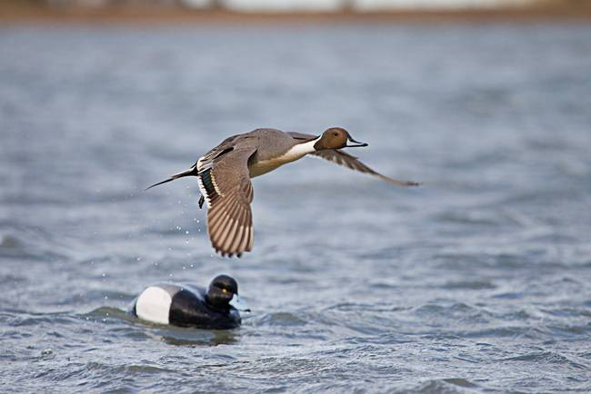 Pintail Duck and Decoy