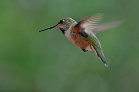 Rufous Humming Bird female
