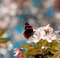 Red Admiral and Cherry Blossoms IMG_5418
