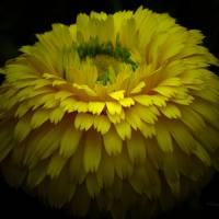 *Yellow Flower by Patricia Schnepf