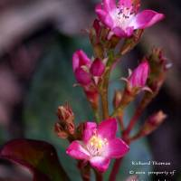 Pink Flowers in the Afternoon by Richard Thomas