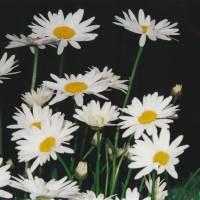 DaisysandMoonlite by Barb Tallberg