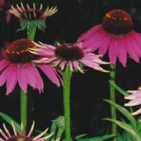 Healing Echinacea by Barb Tallberg