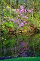Reflection of Redbud Trees