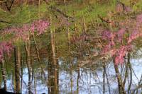 Reflections of Redbud Trees