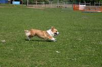 Running Cardigan Welsh Corgi