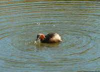 Busy Little Grebe