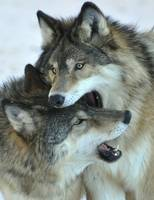 Wolf Brothers II
