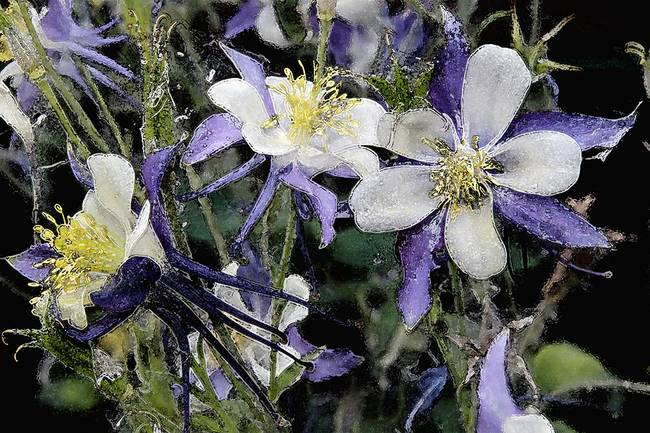 Columbines Loveland Colorado Watercolor