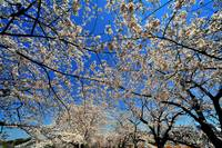Sakura, Ueno Park, Today