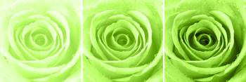 Lime Green Rose with Water Droplets Triptych