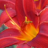 Single Red Lily 2 closeup sq