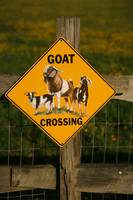 Shirley Plantation Goat Crossing vert