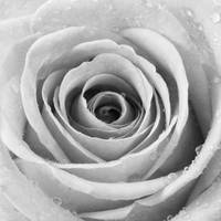 Silver Rose with Water Droplets