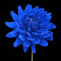 Blue Dahlia Flower Black Background