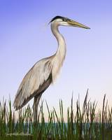 Great Blue Heron by Giorgetta Bell McRee