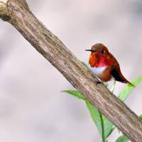 Male Rufous Resting II by Laura Mountainspring