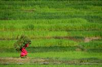 Woman Harvesting Crops near Bhaktapur