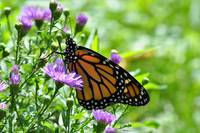 Monarch Butterfly & Purple Asters No2
