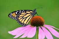 Monarch Butterfly & Coneflower No4