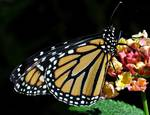 Monarch Butterfly & Lantana