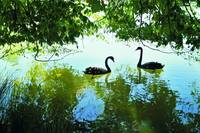 Two Swans on a Lake in the shade