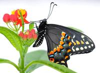 Daniel the Black Swallowtail Butterfly