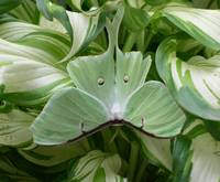Luna Moth and Hostas