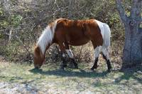 Wild Horse of Assateague