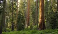 Forest of Sequoias_9932_3_4