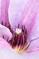 Lilac Purple Clematis Print