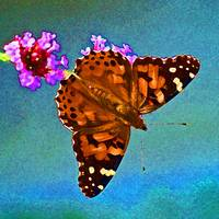 Butterfly  American Painted Lady on Blue