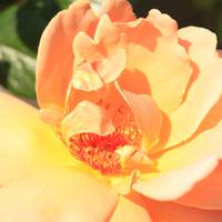 Yellow and Peach Rose