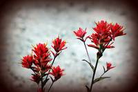 paintbrush wildflowers, Johnston's Ridge 3